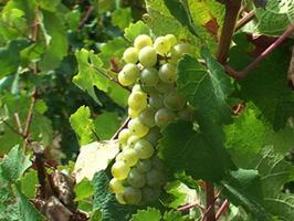 #SauvBlanc Online Community Wine Tasting