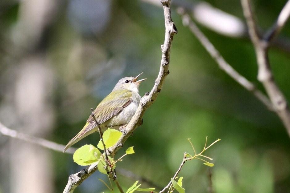 Water Valley - Breeding Songbirds